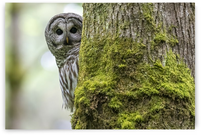 5123 - Barred Owl by Ken Anderson Photography