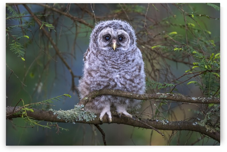 5483 -Barred Owlet by Ken Anderson Photography