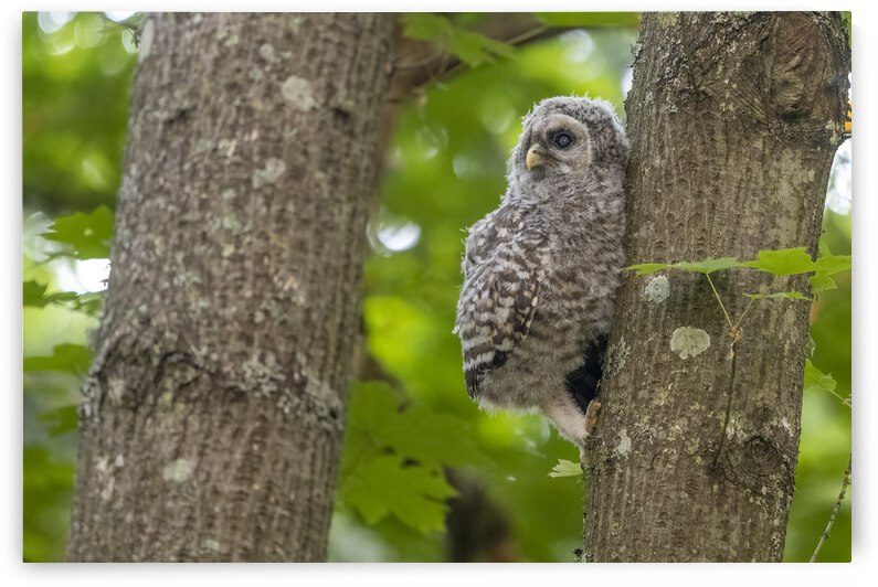 4435 - Barred Owlet Hanging On by Ken Anderson Photography