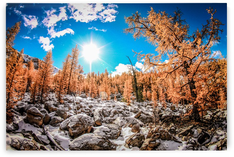 Larch Trees Frist Snow by Stephan Malette