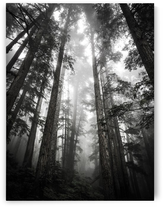 B&W Trees - Whistler BC by Stephan Malette