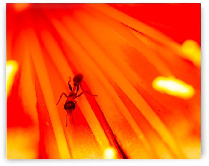 Ant In Flower by Paul Punzo