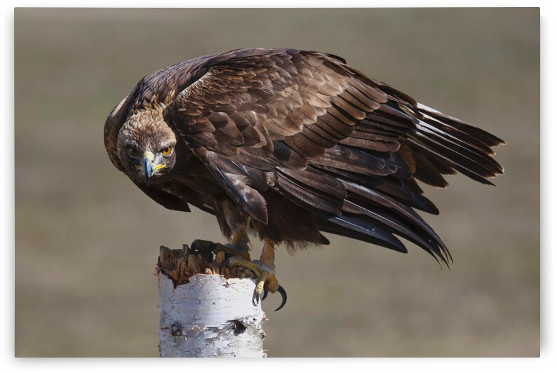 Golden Eagle by Chris Seager