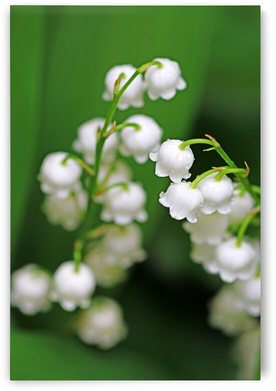 Lily Of The Valley by Deb Oppermann