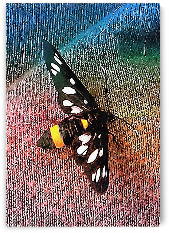 A Yellow Belted Burnet by Dorothy Berry-Lound
