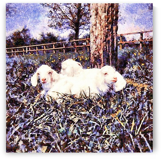 Three White Goat Kids At Dusk by Dorothy Berry-Lound