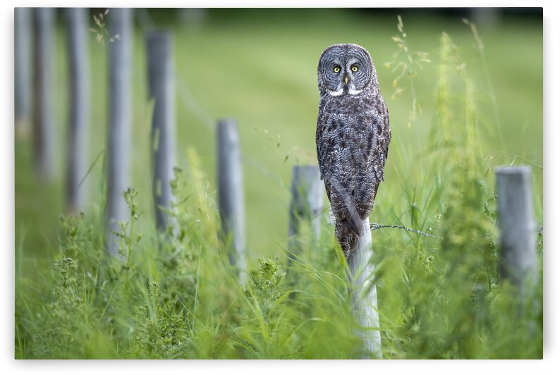 0318 - Great Grey Owl by Ken Anderson Photography