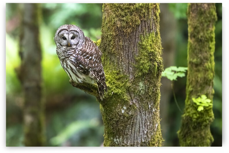 5597-Barred Owl by Ken Anderson Photography