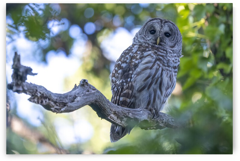 5375-Barred Owl by Ken Anderson Photography