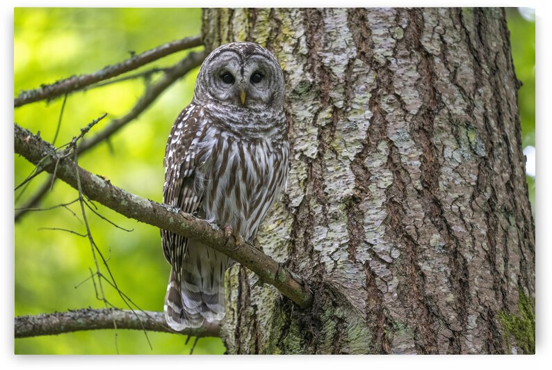 4807-Barred Owl by Ken Anderson Photography