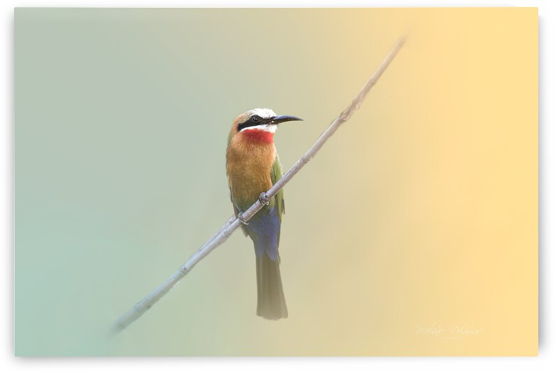 White Fronted Bee Eater by Melanie Delamare