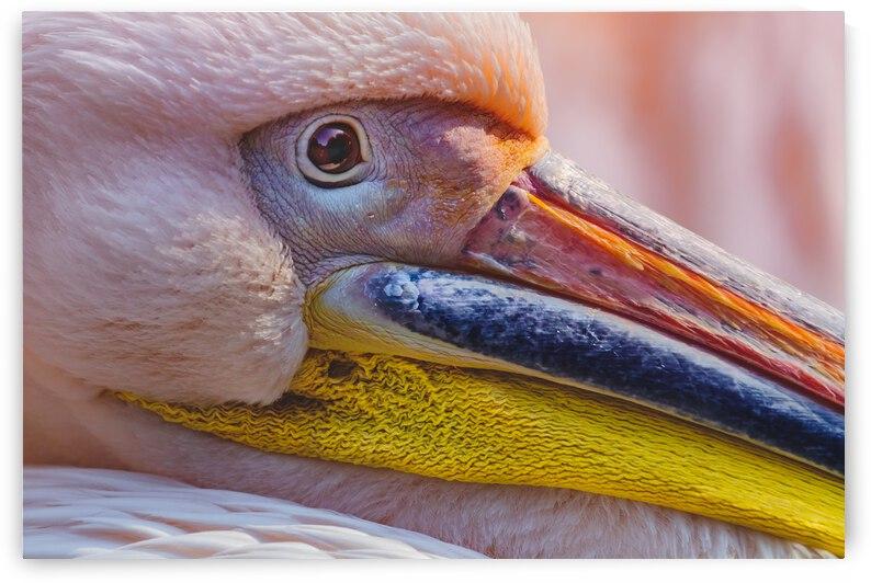 Pelican portrait by ATTiLA GiMESi