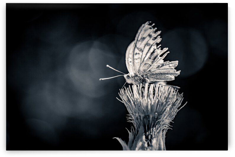 Butterfly by ATTiLA GiMESi