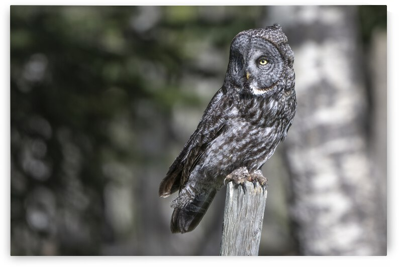 5815- Great Grey Owl by Ken Anderson Photography