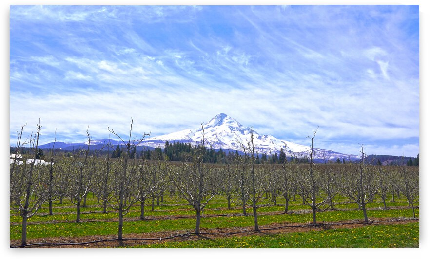 Spring at the Orchards  - Mount Hood - Oregon by 1North