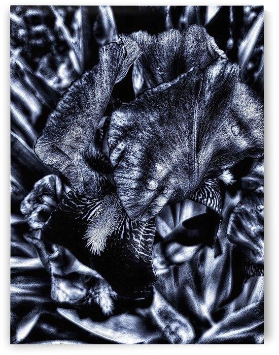 Monochrome Iris by BotanicalArt ca
