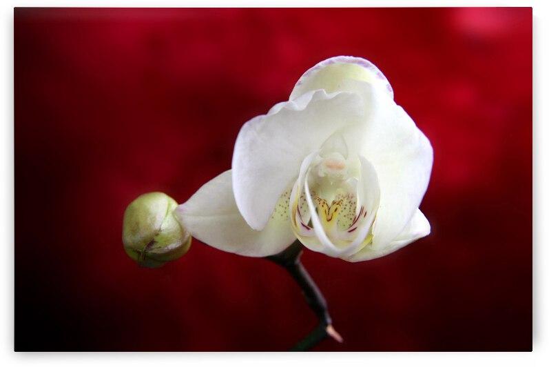 orchid 051  by nami sakamoto