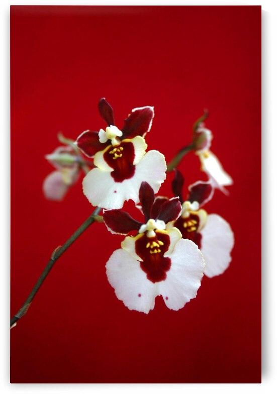 orchid 031 by nami sakamoto