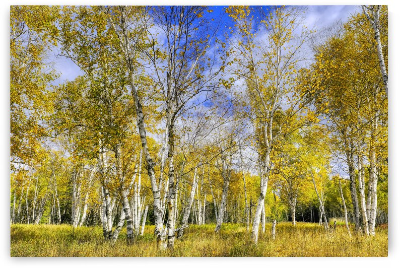 Standing within The Birches by Denis Bresolin Photography