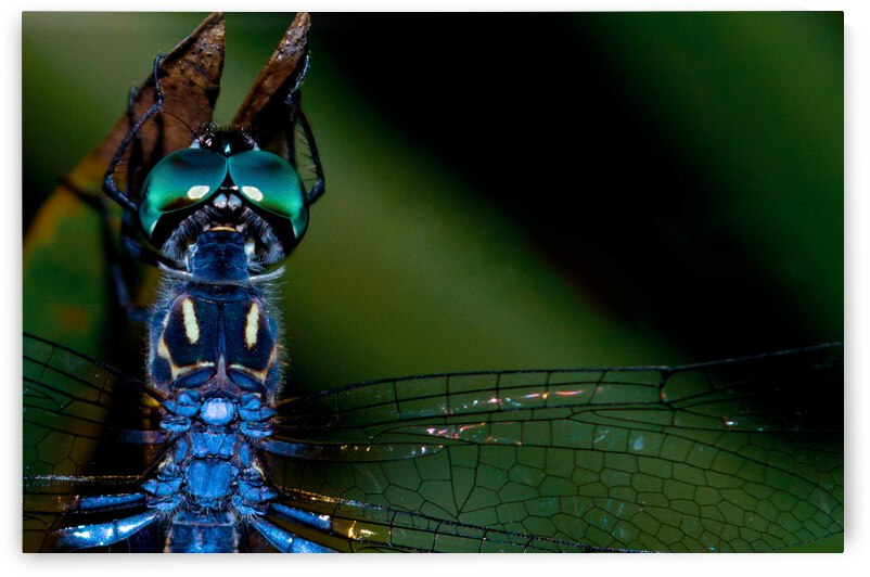 Blue Dragonfly by LNC PHOTOGRAPHY