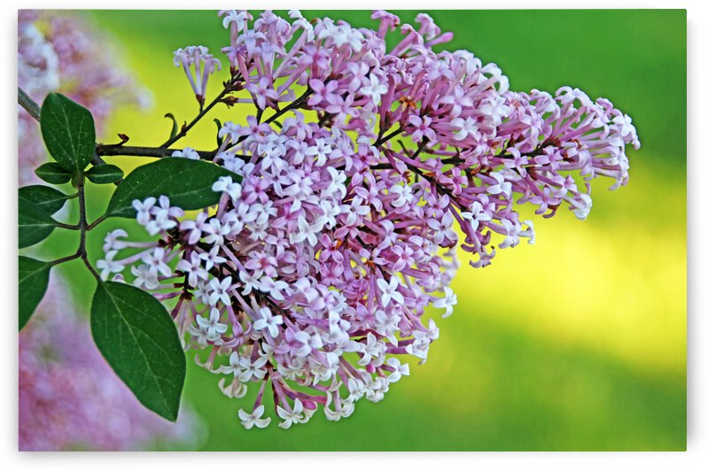 Weeping Lilac Cluster by Deb Oppermann