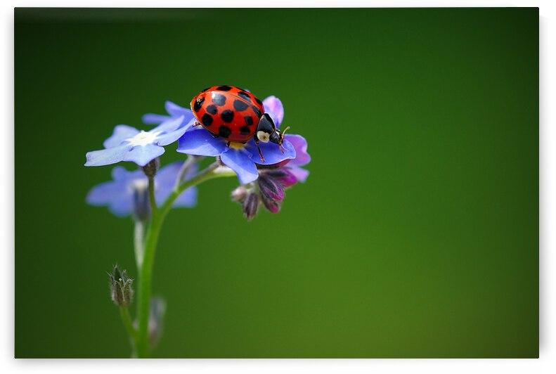 Ladybug on a flower by Gabi Siebenhuehner