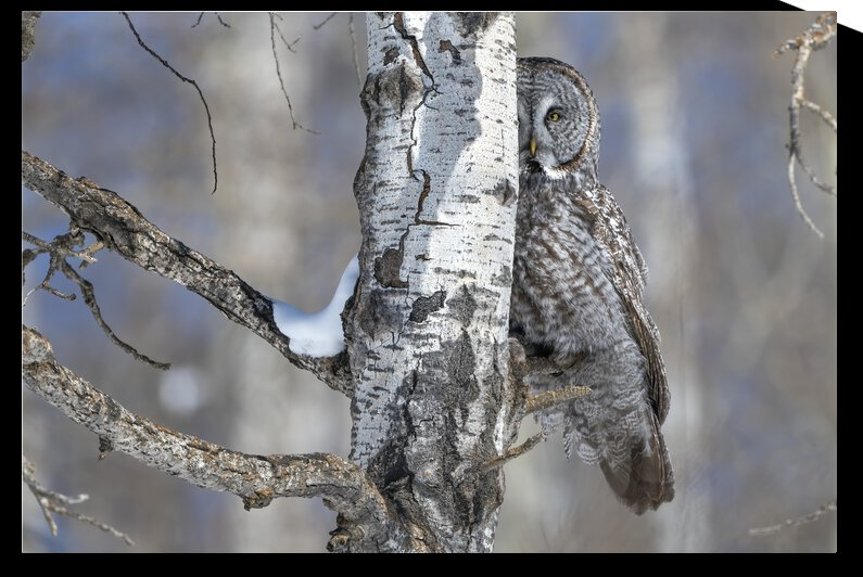 9972-Great Grey Owl by Ken Anderson Photography
