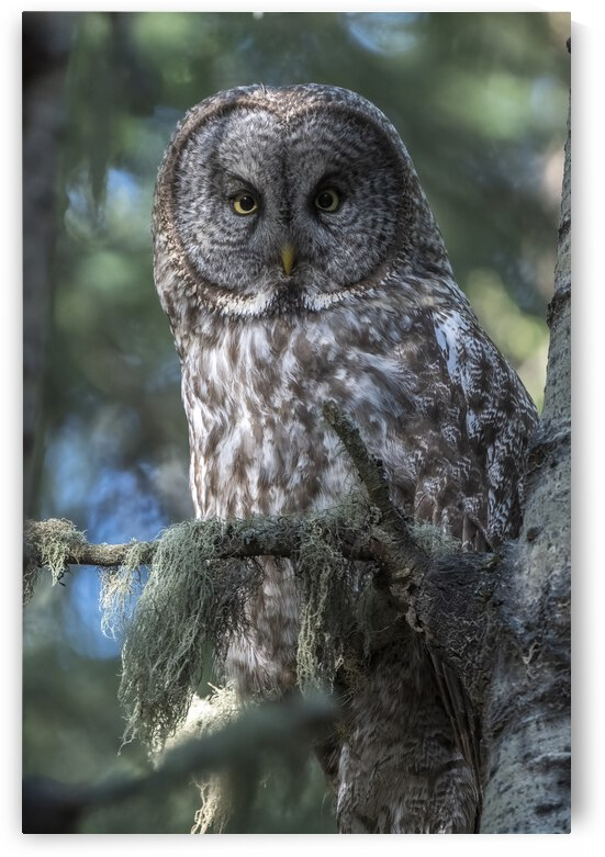 5708 - Great Grey Owl Portrait by Ken Anderson Photography