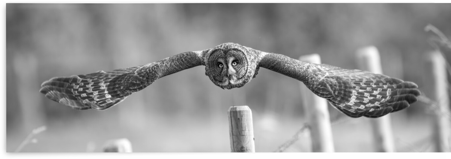 0894 - Great Grey Owl In Flight by Ken Anderson Photography