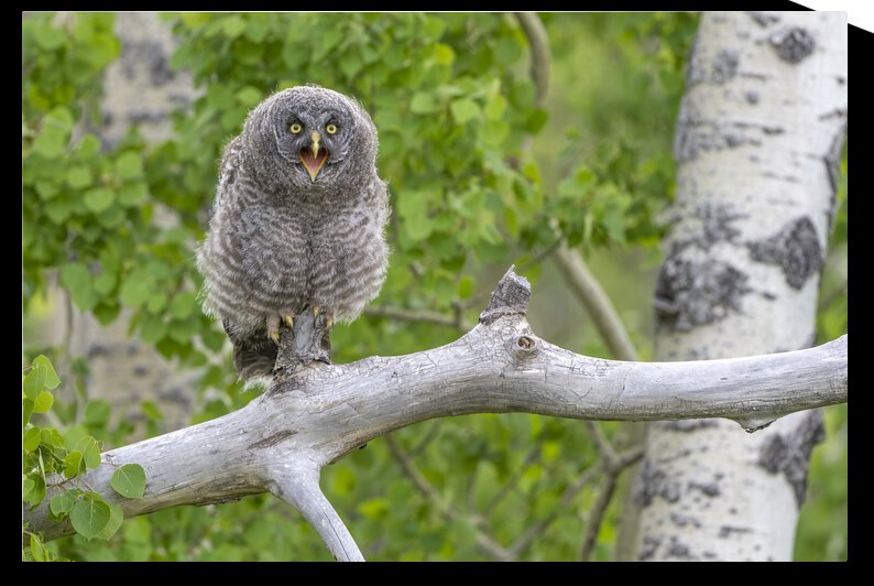 7745 - Great Grey Owlet by Ken Anderson Photography