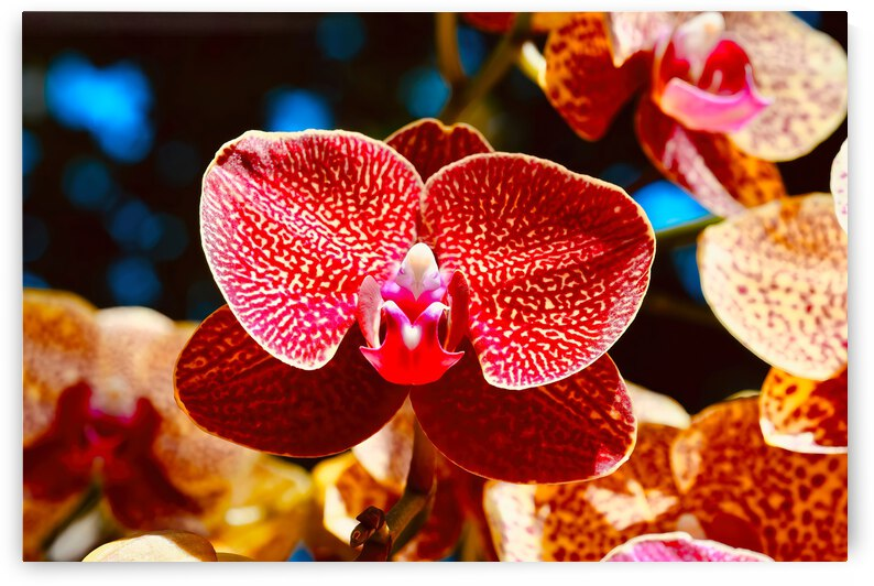 Orchid 11 ... NYC by Fred J Bivetto