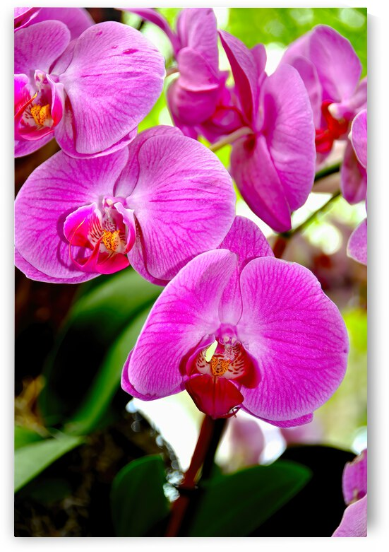Orchid 8 ... NYC by Fred J Bivetto