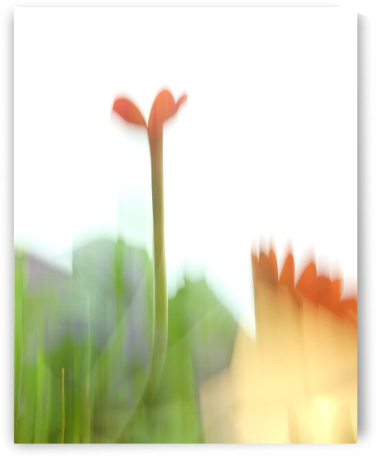 Gerbera Daisy Abstract 4 by Leslie K Joseph