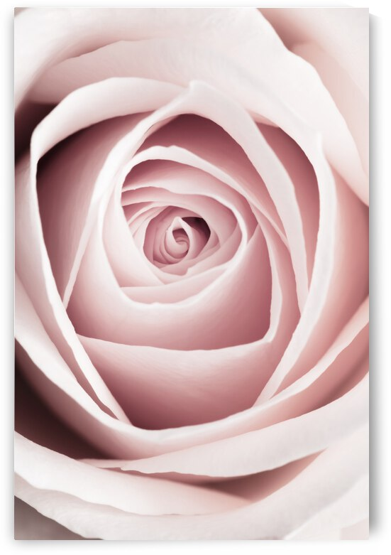 Pink Rose No 1 by 1x