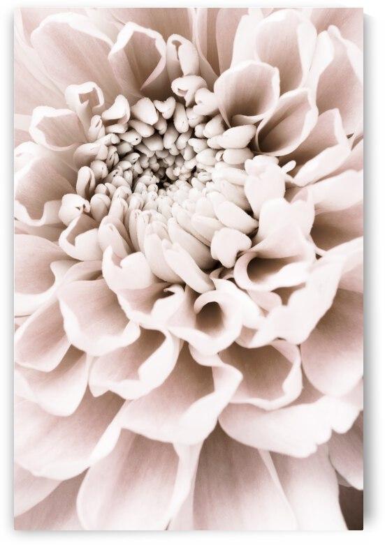 Chrysanthemum No 01 by 1x