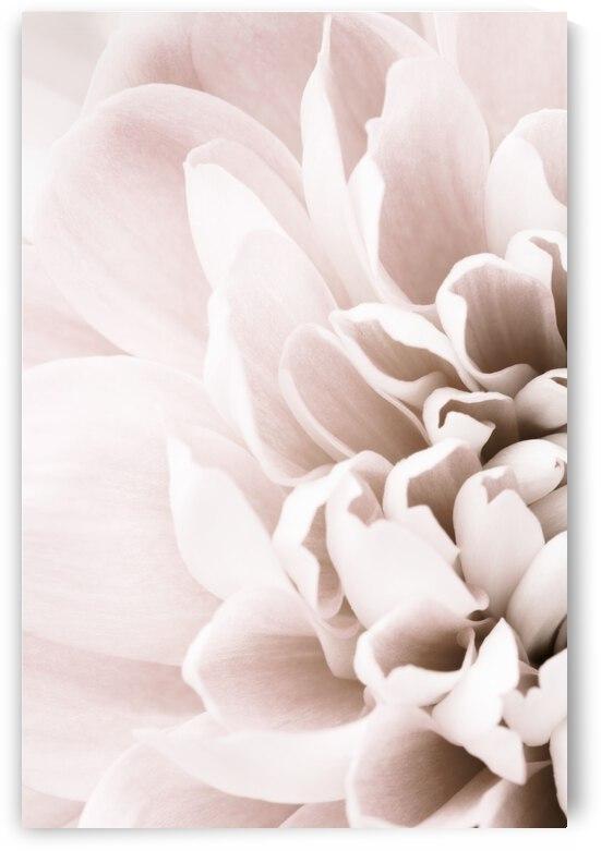 Chrysanthemum No 02 by 1x