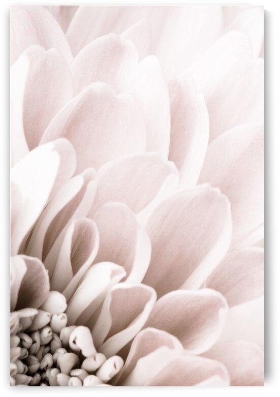 Chrysanthemum No 03 by 1x