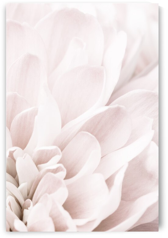 Chrysanthemum No 04 by 1x