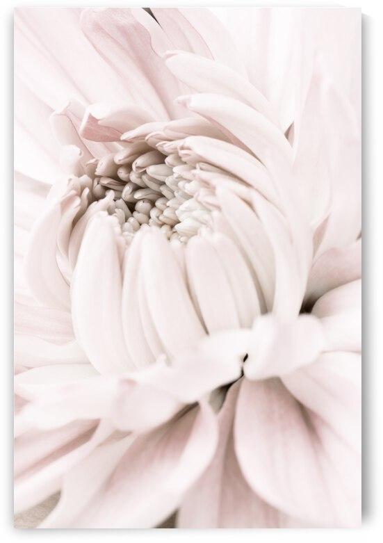Chrysanthemum No 05 by 1x