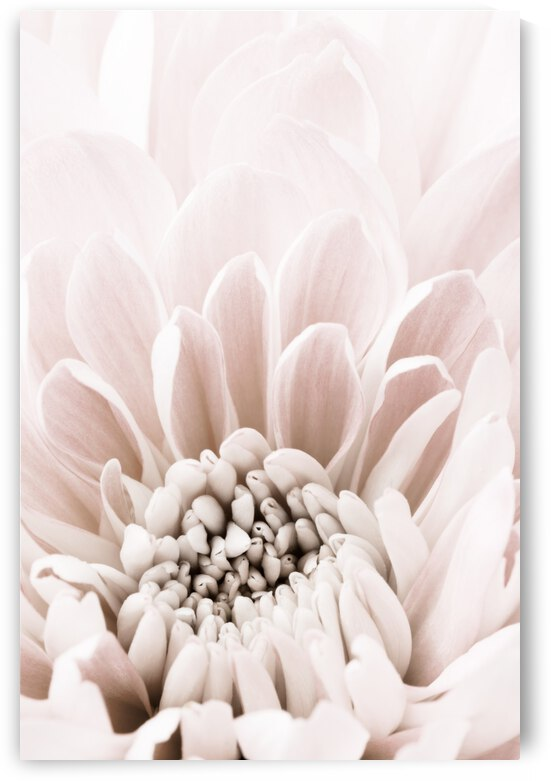 Chrysanthemum No 06 by 1x