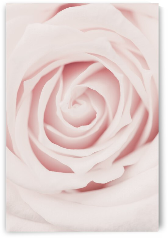 Pink Rose No 02 by 1x
