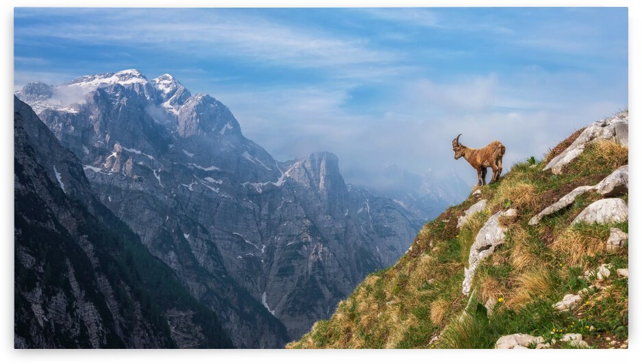Alpine Ibex in the mountains by 1x