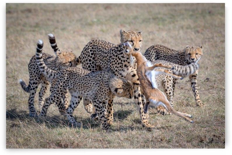 Cheetah Hunting by 1x