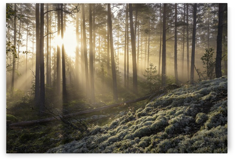 Fog in the forest with white moss in the forground by 1x
