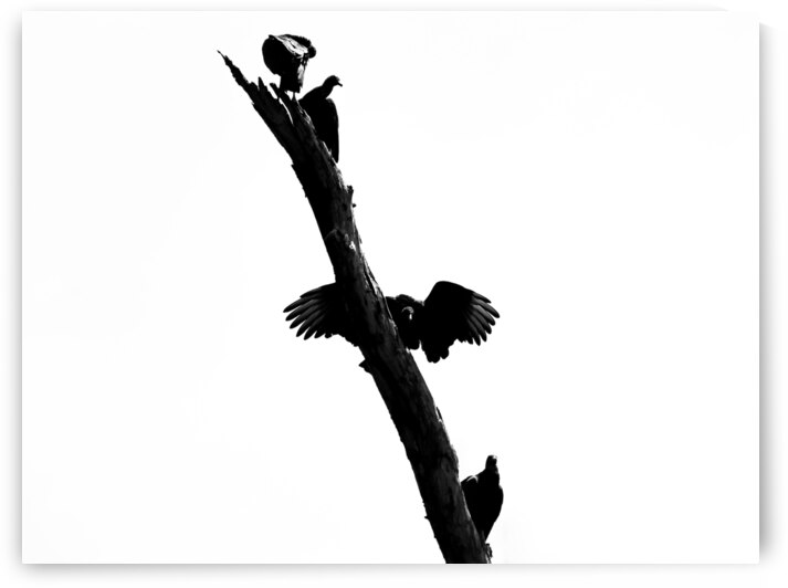 Vultures by Andre Luis Leme