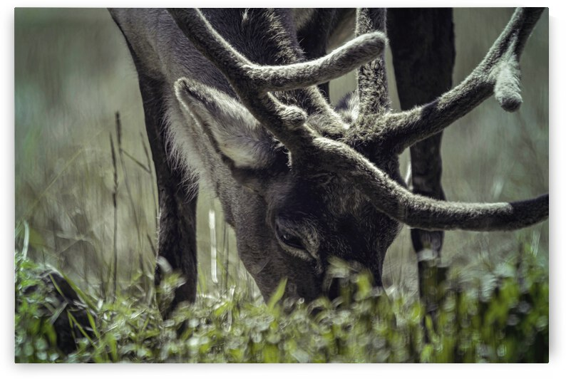 Reindeer lunch by Ulrich Josserand