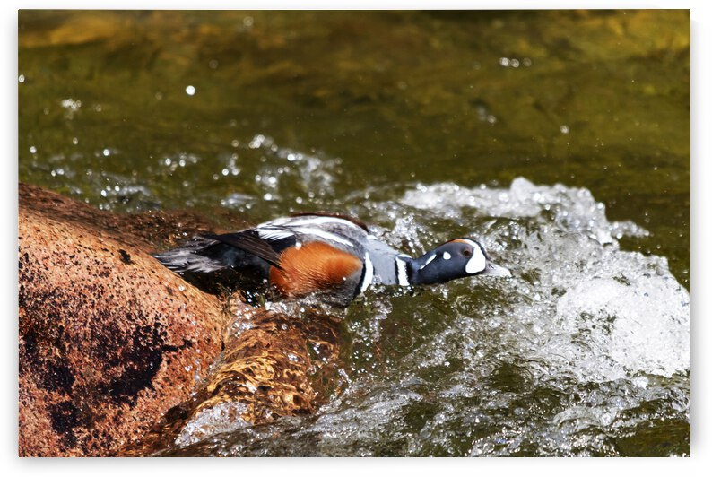 Harlequin duck diving by Ulrich Josserand