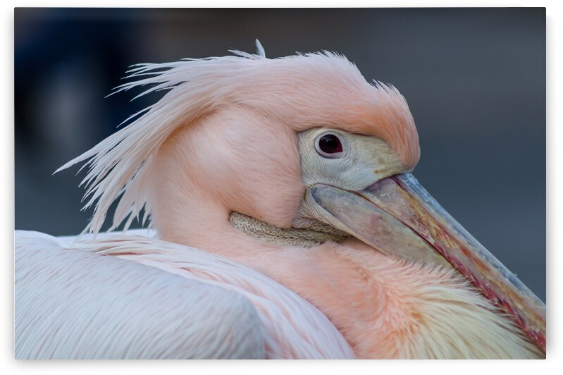 Pink pelican by Federico pico photography