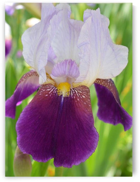 Purple Iris Photograph by Katherine Lindsey Photography