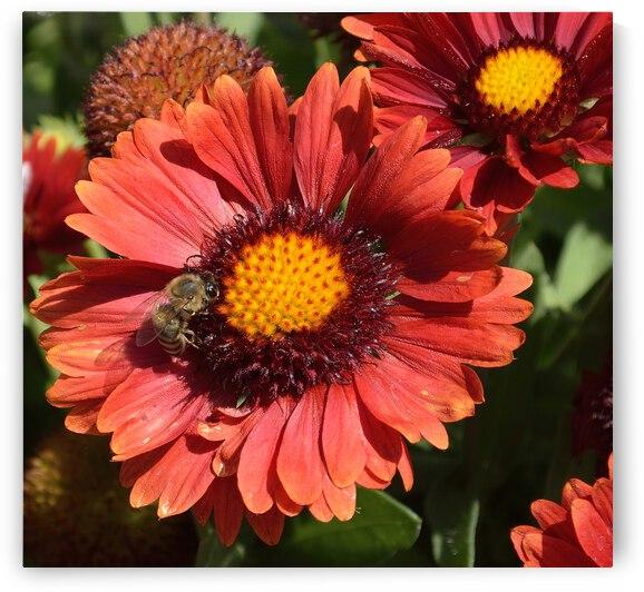 Red Gaillardia with Bee Gaillardia pulchella by Michelle K Wood